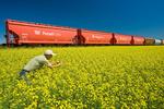 a farmer examines blooming canola next to rail hopper cars carrying potash, near Carman, Manitoba, Canada