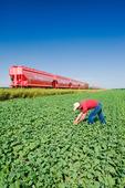 a farmer examines early growth canola next to rail hopper cars carrying potash  near Carman, Manitoba, Canada