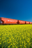 rail hopper cars carrying potash next to as bloom stage canola field, near Carman, Manitoba, Canada