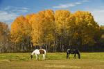 horses next to Aspen trees near Oakbank, Manitoba, Canada