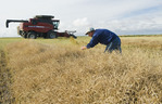 a farmer examines canola ,his combine harvester is in the background, near Cudworth, Saskatchewan, Canada