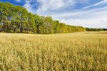 maturing oat field near Grandview, Manitoba, Canada