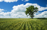 spring wheat field and cottonwood tree, near Roland, Manitoba, Canada
