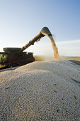 a combine augers yellow field peas into a farm truck during the yellow field pea harvest near Winnipeg,  Manitoba, Canada