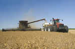 a combine harvester augers yellow field peas into a grain wagon on the go, during the yellow field pea harvest near Winnipeg,  Manitoba, Canada