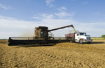 a combine harvester augers yellow field peas into a farm truck during the yellow field pea harvest near Winnipeg,  Manitoba, Canada