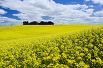 bloom stage canola field, Tiger Hills, Manitoba, Canada