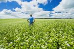 a farmer in a blooming buckwheat field , Tiger Hills,  Manitoba, Canada