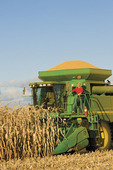 a man stands on the deck of a combine filled with the harvested crop  near Niverville, Manitoba, Canada