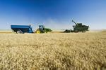 a combine harvests winter wheat , near Niverville, Manitoba, Canada
