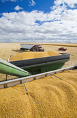 feed/grain corn in the back of a grain wagon and farm truck during the harvest, near Niverville, Manitoba, Canada
