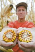 hand holding grain/feed corn, near Niverville, Manitoba, Canada