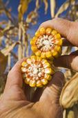 close-up of feed/grain corn , near Carey, Manitoba, Canada