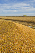 feed/grain corn in the back of a farm truck during the harvest near Niverville, Manitoba, Canada