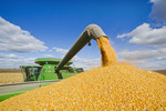 a combine empties into a grain wagon on the go during the feed/grain corn harvest, near Niverville, Manitoba, Canada