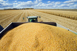 feed/grain corn in the back of a grain wagon during the harvest, near Niverville, Manitoba, Canada