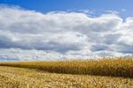a field of mature, harvest ready feed/grain corn ,  near Niverville, Manitoba, Canada