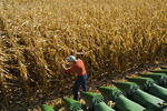 a farmer examines corn next to a combine header in front of a field of mature feed/grain corn  near Niverville, Manitoba, Canada