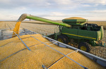 a combine unloads corn into a farm truck during the grain/feed corn harvest, near Niverville, Manitoba