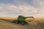 feed/grain corn harvest near Niverville, Manitoba, Canada