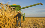 a farmer examines feed/grain corn in front of his combine during the harvest near Niverville, Manitoba, Canada