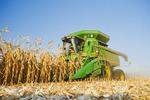 feed/grain corn harvest near Niverville, Manitoba, Canada