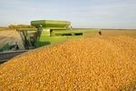 a grain wagon full of corn during the feed/grain corn harvest near Niverville, Manitoba, Canada