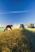 a man examines canola while a combine harvests the swathed crop, near Lorette, Manitoba, Canada