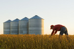 a farmer in his mature, harvest ready soybean crop  with grain storage bins in the background, near Carey, Manitoba, Canada