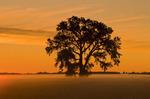 sunrise, cottonwood tree,near Winnipeg, Manitoba, Canada