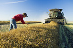 a man examines canola while a combine harvests the swathed crop , near Lorette, Manitoba, Canada