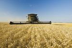 a combine harvests wheat , near Lorette, Manitoba, Canada