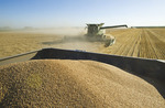 a combine harvests winter wheat with a loaded grain wagon in the foreground, near Niverville, Manitoba, Canada