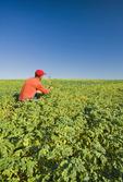 farmer examining a mid-growth, chickpea field near Kincaid,  Saskatchewan, Canada