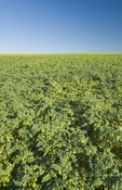chickpea field near Kincaid,  Saskatchewan, Canada