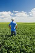 a man looks out over a mid-growth, chickpea field near Kincaid,  Saskatchewan, Canada
