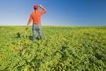 a man in a mid-growth chickpea field near Kincaid,  Saskatchewan, Canada