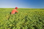 farmer examining a mid-growth chickpea field near Kincaid,  Saskatchewan, Canada