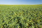 chickpea field near Kincaid,  Saskatchewan, Canada