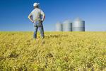 a man in a maturing, chickpea field near Kincaid,  Saskatchewan, Canada