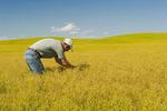 man in maturing flax field near Kincaid, Saskatchewan, Canada