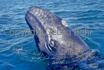 Gray whale calf surfaces in Magdalena Bay, Baja