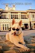 White dog with sunglasses