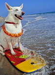 White Shepherd with boogie board