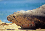 Monk seal on sand in Kauai 