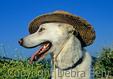 White Shepherd wearing hat by spring wildflowers