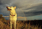 White German Shepherd with rainbow in background