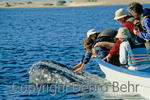 Whale-watchers in Magdalena Bay in Baja touch whale