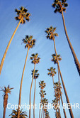 Palm trees in Palisades Park in Santa Monica