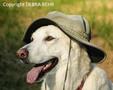White German Shepherd wearing hat